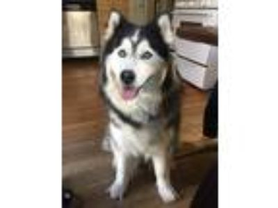 Adopt Milka a Black - with White Husky dog in Jamaica Plain, MA (25490067)