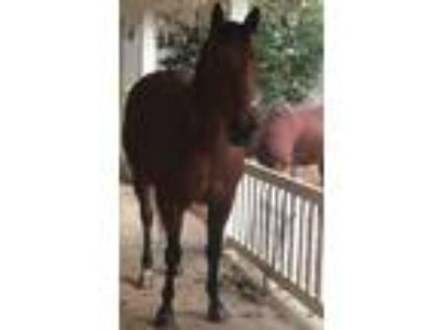 6 Year Old AQHA Mare in Foal to Son of Zoomin for Bux Under Contract