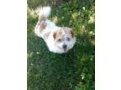 Adopt Chewy a White - with Tan, Yellow or Fawn Jack Russell Terrier / Shih Tzu