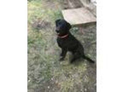 Adopt Chance a Black Labrador Retriever / Golden Retriever / Mixed dog in Round