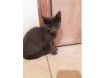 Adopt Birdy a Domestic Short Hair