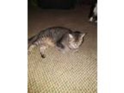 Adopt Tails a Gray, Blue or Silver Tabby American Shorthair / Mixed cat in