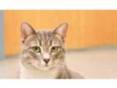 Adopt Glitter a Gray or Blue Domestic Shorthair / Domestic Shorthair / Mixed cat