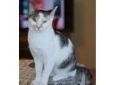Adopt Gatsby a Calico or Dilute Calico Calico (short coat) cat in Flower Mound