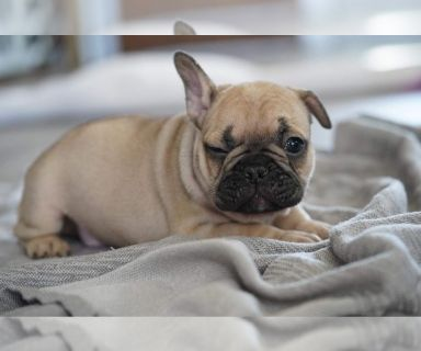 French Bulldog PUPPY FOR SALE ADN-128884 - French Bulldogs