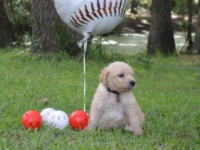 Goldendoodle PUPPY FOR SALE ADN-77803 - F1 standard Goldendoodles