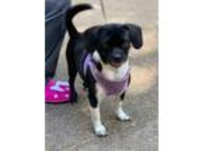 Adopt Cece a Black - with White Boston Terrier / Dachshund / Mixed dog in