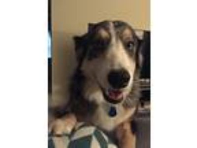 Adopt Scout a Gray/Blue/Silver/Salt & Pepper Australian Shepherd / Border Collie