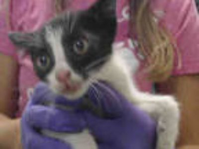 Adopt LUCY a Black & White or Tuxedo Domestic Shorthair / Mixed (short coat) cat
