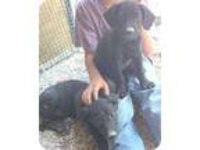 Adopt Abbey a Black - with White Labrador Retriever / Whippet / Mixed dog in