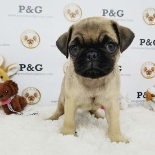 Pug PUPPY FOR SALE ADN-95734 - PUG BELLA FEMALE