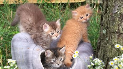Persian/ Turkish Angora Kittens