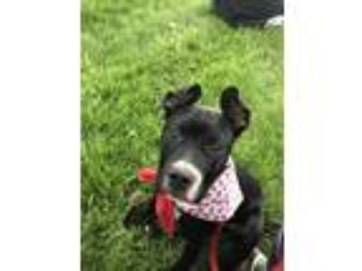 Adopt Alfredo linguine a Black - with White American Pit Bull Terrier / Mixed