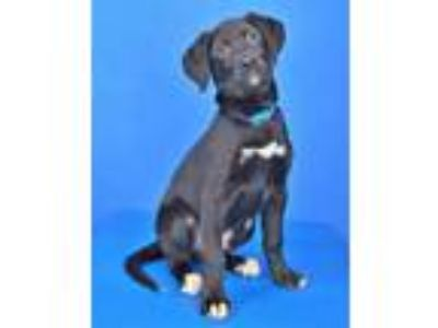 Adopt (HOLD) Dean Martin a Black Labrador Retriever / Mixed dog in Cabot