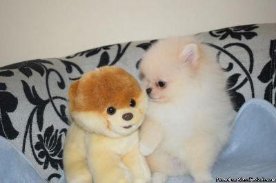 Stunning Pomeranian puppies available