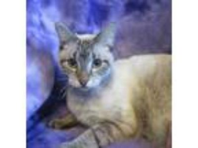 Adopt Teddi a Gray or Blue Domestic Shorthair / Siamese / Mixed cat in