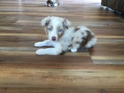 Australian Shepherd PUPPY FOR SALE ADN-88984 - Male Standard Red Merle Australian Shepherd