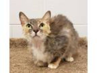 Adopt a Tortoiseshell Domestic Shorthair / Mixed (short coat) cat in Grovetown