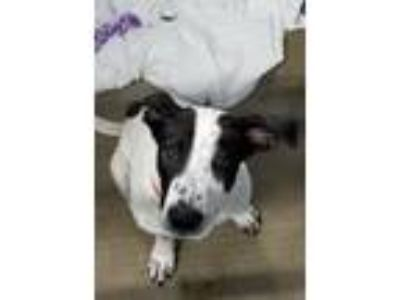 Adopt Jake a White - with Black Australian Shepherd / Mixed dog in Plainfield