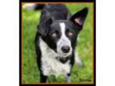 Adopt Bonnie a Terrier, Labrador Retriever