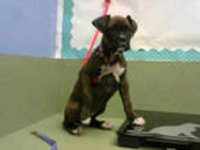 Adopt a Brindle - with White Boxer / Mixed dog in Moreno Valley, CA (25884665)