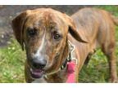 Adopt ROCKET a Brown/Chocolate Basset Hound / Mixed dog in West Palm Beach