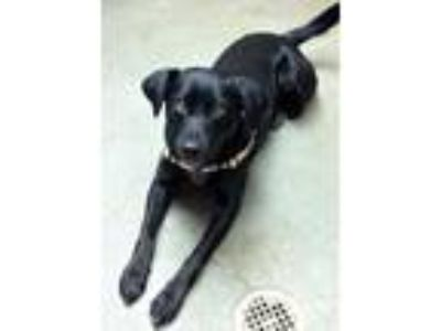 Adopt Atari a Black Labrador Retriever / Australian Cattle Dog / Mixed dog in