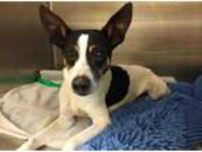 Adopt DOUGHBOY a Tricolor (Tan/Brown & Black & White) Rat Terrier / Mixed dog in