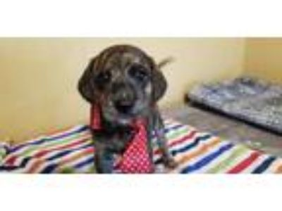 Adopt Mimi a Brindle Mountain Cur / Hound (Unknown Type) dog in Ola
