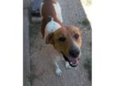 Adopt Nate a White - with Brown or Chocolate Hound (Unknown Type) / Labrador