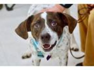 Adopt Bingo a White - with Brown or Chocolate German Shorthaired Pointer dog in