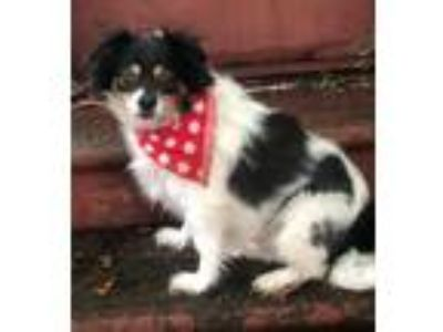 Adopt Spud a White - with Brown or Chocolate English Toy Spaniel / Sheltie