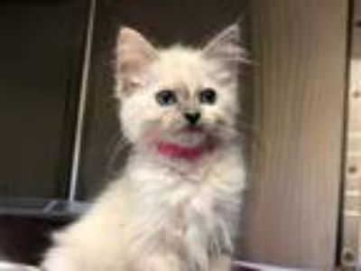 Adopt GRITS a White (Mostly) Domestic Mediumhair / Mixed (medium coat) cat in