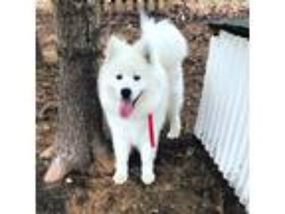 Adopt Boone a White Samoyed dog in Sandwich, MA (25417449)