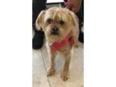 Adopt Pooka (Eloise) a Shih Tzu / Mixed dog in Logan, UT (25882414)