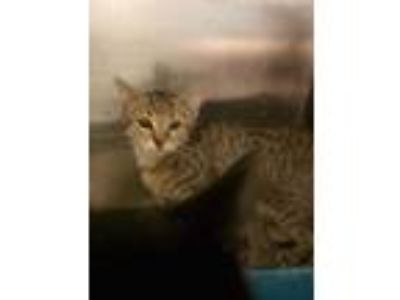 Adopt Kenley a Brown or Chocolate Domestic Shorthair / Domestic Shorthair /