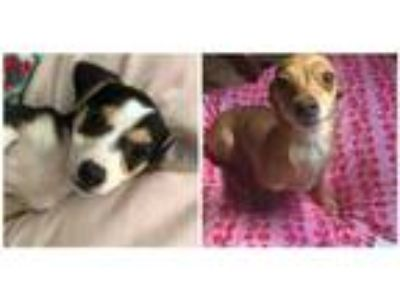 Adopt Goldie and her pup L a Terrier (Unknown Type, Medium) / Mixed dog in Homer