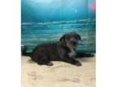 Adopt GRAVITY a Labrador Retriever, Irish Wolfhound