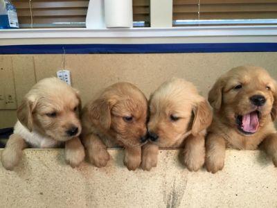 Golden Retriever PUPPY FOR SALE ADN-73799 - Golden Retriever pups looking for new homes