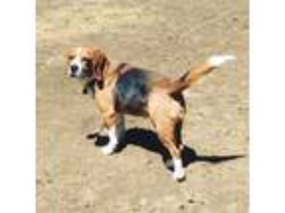 Adopt Colby a Beagle