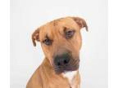 Adopt Sesame a Red/Golden/Orange/Chestnut Mixed Breed (Large) / Mixed dog in
