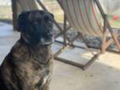 Adopt Sasha a Brindle German Shepherd Dog / Boxer / Mixed dog in Belton