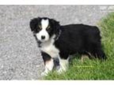 AKC Miniature American Shepherd female pup Sparrow