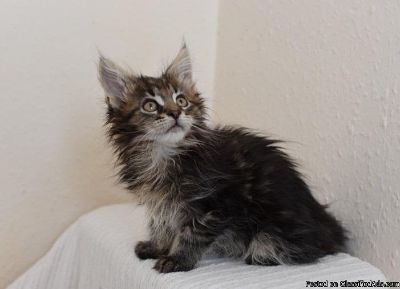 Priceless Maine Coon Kittens For Sale!