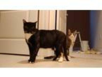 Adopt Mitz a Calico or Dilute Calico Calico cat in Davenport, FL (25013319)