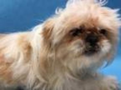 Adopt Savannah a Tan/Yellow/Fawn Pekingese / Mixed dog in Golden Valley