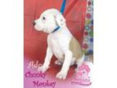 Adopt Chunky Monkey a Pit Bull Terrier