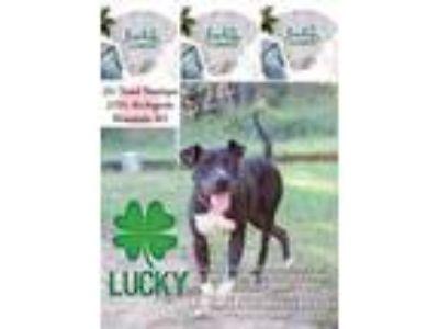 Adopt Lucky a Pit Bull Terrier, Terrier