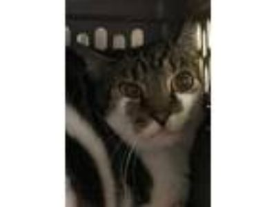 Adopt Special Agent Dale Cooper a Gray or Blue Domestic Shorthair / Domestic