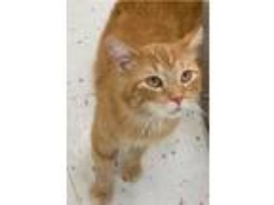 Adopt Dexter -- HAPPY CAT a Domestic Short Hair, Tabby